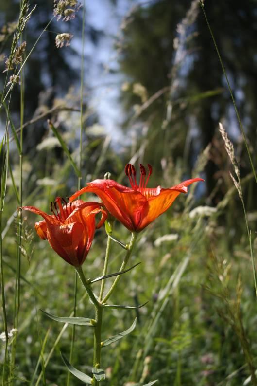 Giglio rosso, Lilium bulbìferum